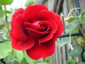 Rose Thats Jazz oder Naheglut